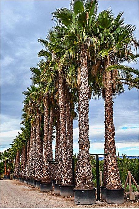 Washingtonia Robusta Palm Trees - Mexican Fan Palm from