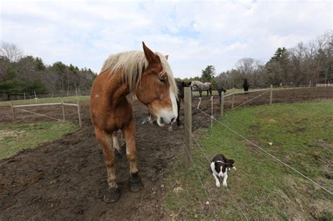 Red And The World's Second Largest Horse - Bedlam Farm