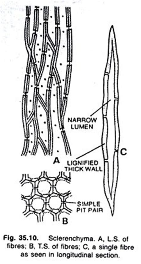 3 Major Groups of Plant Tissue (With Diagrams)   Botany