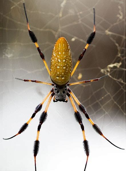 Spiders Snare, Bite & Eat Snake in Web: Incredible Footage