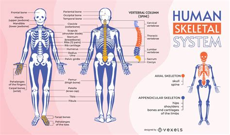 Human Skeletal System Infographic Template - Vector Download